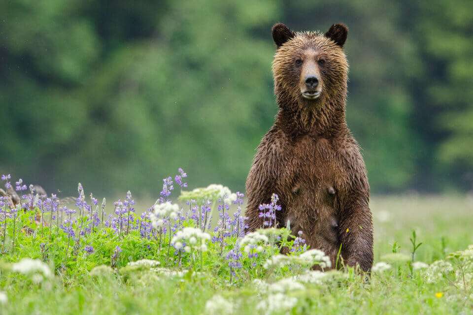 Great Bear Rainforest Grizzly Standing