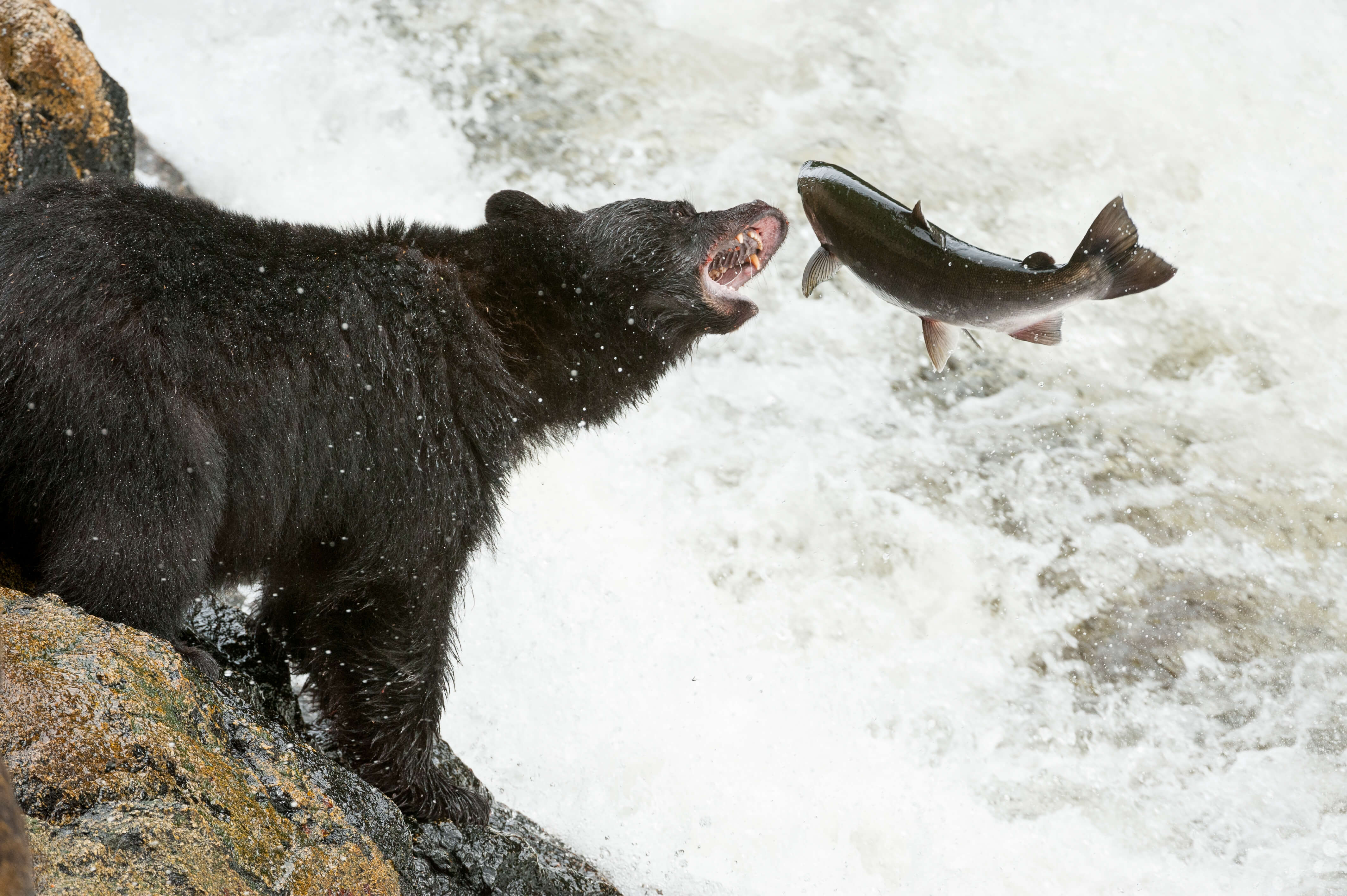 Black Bear eats salmon